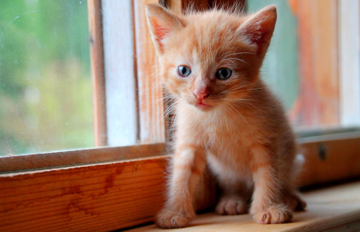 Funny red kitten. Ginger red kitten on window. Long haired red kitten.