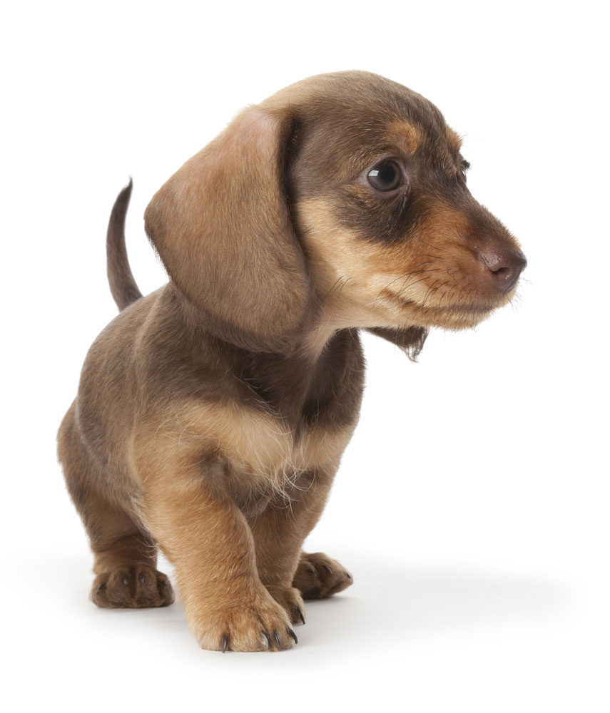 Wire-haired dachshund puppy on white background with space for text