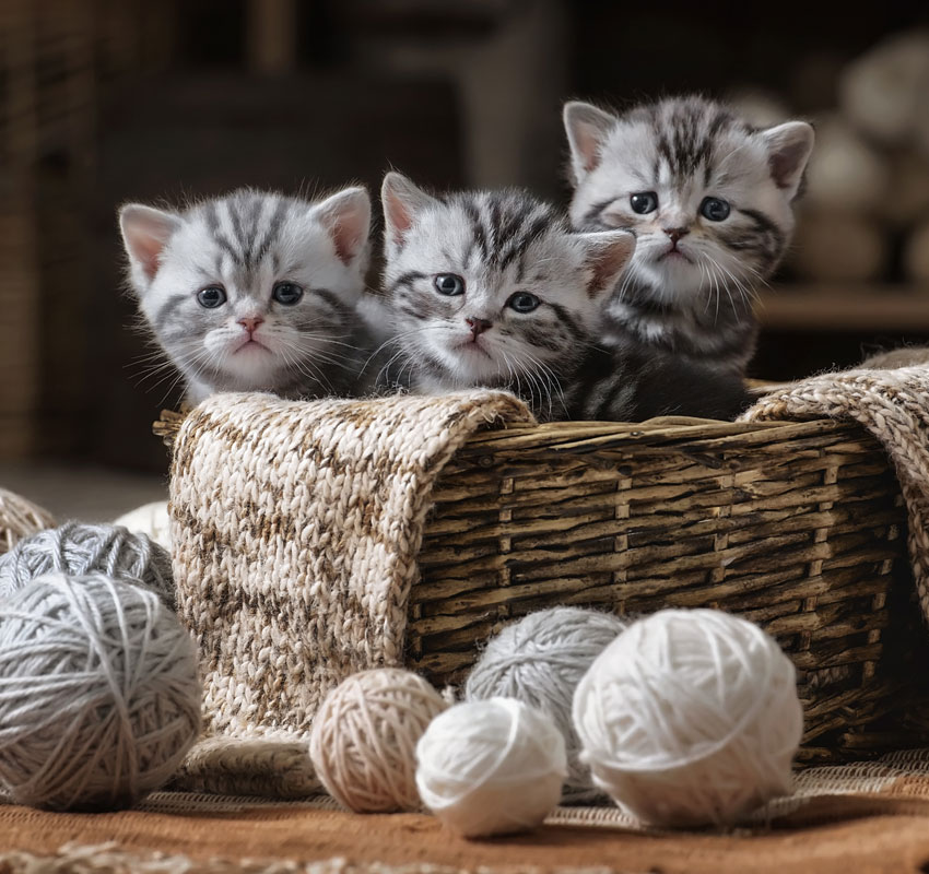 Group of small striped kittens in an old basket with balls of yarn