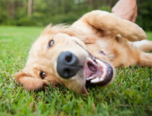 It's in the Air: Atopy in Pets